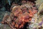 Ein Baertiger Drachenkopf liegt bewegungslos im Korallenriff