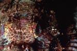 Baertiger Drachenkopf Detailaufnahme