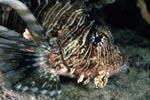 Detailaufnahme Indischer Rotfeuerfisch