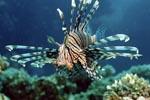 Anschwimmender Indischer Rotfeuerfisch