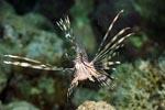 Elegant naehert sich ein Indischer Rotfeuerfisch