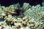 Dunkelfarbener Indischer Rotfeuerfisch