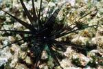 Dunkler Indischer Rotfeuerfisch