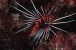 Strahlenfeuerfisch im Korallenriff