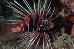 Strahlenfeuerfisch im Riff