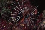 Eindrucksvoller Strahlenfeuerfisch