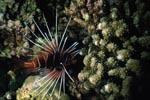 Strahlenfeuerfisch auf Patrouille