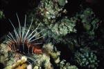 Strahlenfeuerfisch patrouilliert im Riff