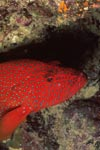 Juwelen-Zackenbarsch nahe einer Korallenspalte
