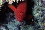 Juwelen-Zackenbarsch unter einem Korallenvorsprung
