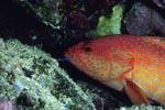 Juwelen-Zackenbarsch kommt aus einer Korallenhoehle