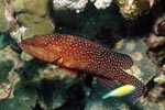 Juwelen-Zackenbarsch durchstreift das Riff