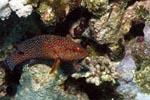 Juwelen-Zackenbarsch schwimmt durch das Riff