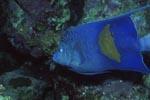 Arabischer Kaiserfisch am Riff