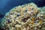 Spiralroehrenwuermer auf einem Korallenblock