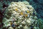 Spiralroehrenwuermer haben sich auf einer Koralle angesiedelt