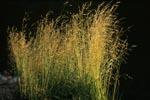 Gras im letzten Abendlicht