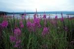 Schmalblaettrige Weideroeschen am Brooks River