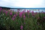 Schmalblaettrige Weideroeschen am Fluß