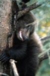 Entspannt schaut der kleine Braunbär vom Baum