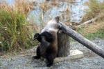 Kleiner Braunbär entspannt sich am Schlagbaum