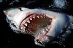 """""""….und der Haifisch, der hat Zähne…."""""""
