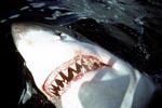 Die scharfen Zähne des Weißen Hais