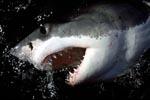 Weißer Hai zeigt sein Maul und seine Zaehne