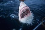 Rasiermesserscharf: Die Zähne des Weißen Hais