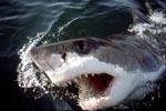 Weißer Hai durchbricht das Wasser mit offenem Maul