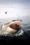Weißer Hai und Seevögel