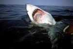Imposanter Weiße Hai Rachen