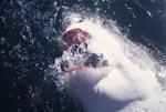 Weißer Hai schnappt nach Wasser