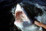 Das Maul des Weißen Hais mit messerscharfen Zaehnen