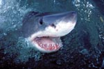 Der Weiße Hai hebt seinen Kopf überwasser