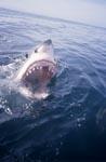 Weißer Hai Rachen an der Meeresoberflaeche