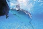 Das Auge des Tigerhais (Galeocerdo cuvier)