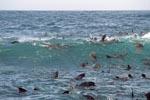 Südafrikanische Pelzrobben mögen eine starke Dünung