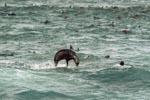 Springende Pelzrobbe in der Duenung