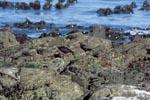 Schwarzer Austernfischer