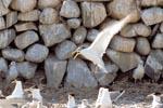 Eilseeschwalbe vor Steinmauer