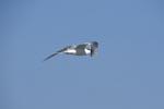 Eilseeschwalbe am wolkenlosen Himmel