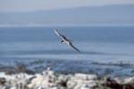 Eilseeschwalbe kehrt zurueck zur Insel