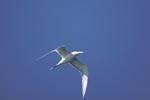 Eilseeschwalbe am blauen Himmel