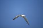 Eilseeschwalbe kehrt zurueck nach Dyer Island