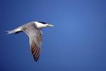 Fliegende Eilseeschwalbe