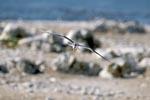 Eilseeschwalbe fliegt ueber die Insel