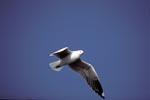 Fliegende Hartlaubmöwe, Dyer Island