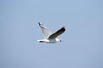 Hartlaubmöwe unterwegs nach Dyer Island