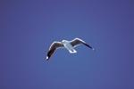 Hartlaubmöwe am blauen Himmel